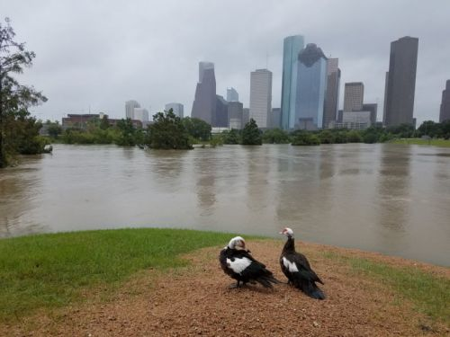 Houston's cityscape squeezed extra rain out of Hurricane Harvey