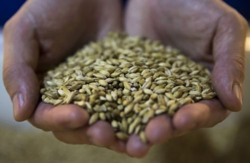 Beer lovers, beware: Warmer climate could lead to severe barley shortages