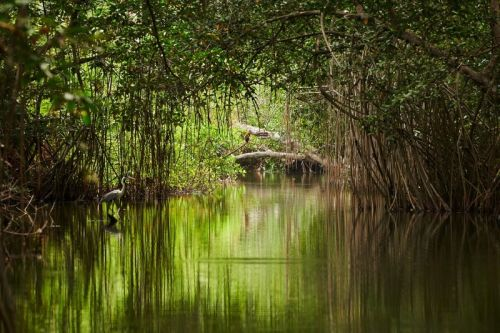 Apple: Save the mangroves, save the humans