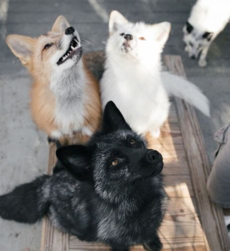 Friendly fox genomes help us understand the genetics of behavior