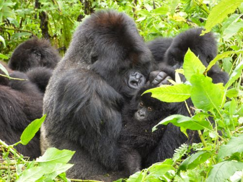 Gorillas that are great with kids are also luckier in love