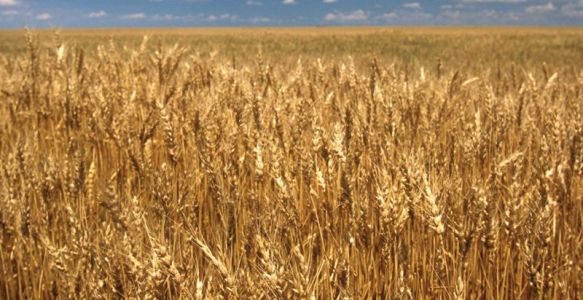 The nightmarishly complex wheat genome finally yields to scientists